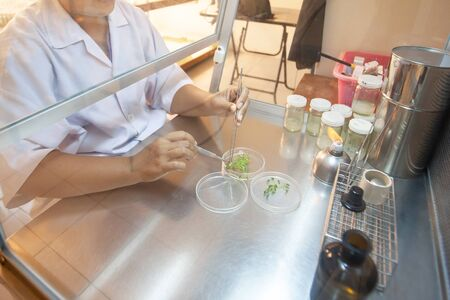 Scientist cutting plant tissue culture in petri dish, performing laboratory experiments, small plant testing, asparagus and other tropical plant. Thailand. Close. Selective focus.