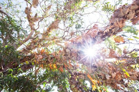 Bottom view of the branches of old tree at sunrise, fantastic tropical plants in the branches of ancient tree, bright morning sun beaming. Khao Yai, Thailand Фото со стока