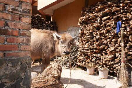 Cute a calf in the courtyard of old village, adorable milking buffalo, local agriculture at Chengzi Village, the ancient village of Yunnan, China. Food culture.