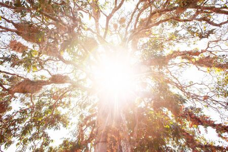 Bottom view of large tree at sunrise, bright morning sun shines through a wild tree, golden ray beaming on tropical plants in the branches of tree. Khao Yai, Thailand. Soft focus. Фото со стока