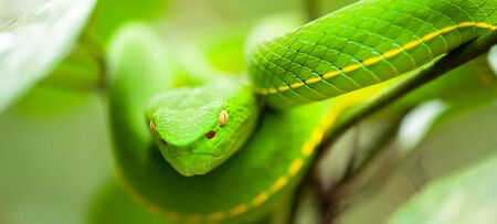 Close, Vogel's Green Pit Viper in the wild tree, breathtaking eyes, colors and skin of Green Pit Viper, bright winter sunlight. Khao Yai National Park, Thailand Фото со стока
