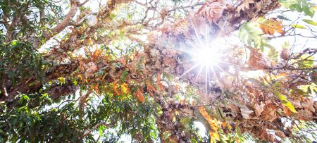 Motion blur, soft focus, bottom view of the branches of old tree at sunrise, fantastic tropical plants in the branches of ancient tree, bright morning sun beaming. Khao Yai, Thailand
