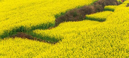 Aerial view of mustard terraces fields on springtime, colorful flowers of mustard plant in full bloom, scenery landscape of Yunnan, South China. Фото со стока