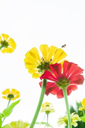 Blooming colorful flowers and honey bee collecting pollen on yellow flowers, view from bottom up to white sky, flowering in springtime. Soft focus. Фото со стока