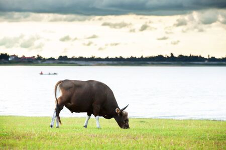 A male Banteng feeding on the field near a tropical lake at dusk, fisherman on wooden fishing boat and cloudy blurred on backgrounds. Lam Pao Lake, Kalasin, Thailand.