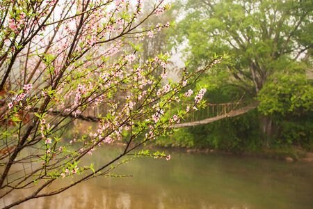 Blooming cherry blossom trees by a stream in springtime, a simple suspension footbridge blurred background, rural scene at Sapa, Vietnam.