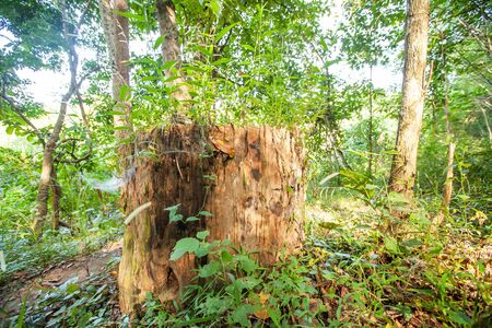 An old Teak tree stump in a tropical forest in North Thailand, a big Teak tree stump in a deep jungle in summer. Selective focus. Stock Photo