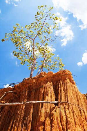 Magical wild tree growing on the red sand of steep sedimentary in a desert on sunny summer, fantastic wild tree's root in the steep sedimentary. World Environment Day concept.