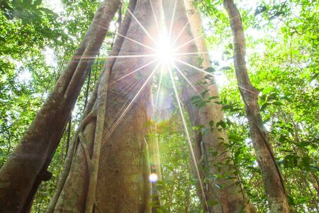 Magical low angle view of a large banyan tree growing in a primeval forest, glowing sun shines through old banyan tree trunk, fantastic large tree. World Environment Day concept. Stock Photo
