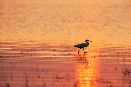 A Great Egret walking in a tropical swamp at sunset, abstract shape of Great Egret against the red sun reflects on surface of water, rural scene in west Thailand. Stockfoto