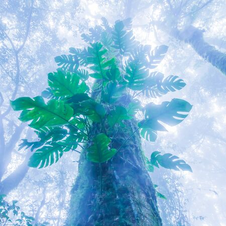 Bottom view of old tree in primeval evergreen forest in blue misty, magical epiphytes growing in the trunk and branches of old trees. Doi Pha Hom Pok National Park, Thailand-Myanmar border.