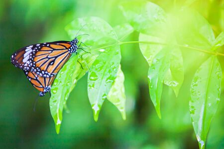 Couple Monarch butterflies mating on green leaf after the rain, water drops on green leaves. Close-up. Selective focus. Stock Photo