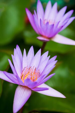 Beautiful purple water lilies are in bloom in sunrise. Close-up. Stockfoto