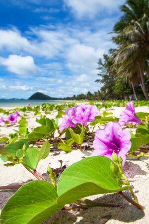 Bright and beautiful tropical beach with Beach Morning Glory are in bloom on sunny summer. South Thailand.