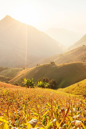 Landscape of corn terraces at sunset, local agriculture in Nan, North Thailand.
