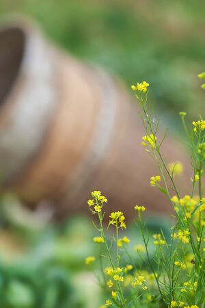Blooming wild yellow flowers in a vegetable garden, bamboo basket blurred in the background. Close. Horizontal view. Focus on yellow flowers.