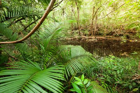 Deep tropical forest in early morning, lush rattan and tropical plants growing along a stream, an ancient forest near Thailand and Cambodia border.