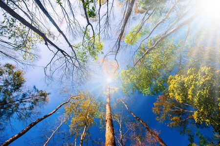Bright and colorful springtime forest in the morning light, sunrise shines on branches and beautiful young leaves of wild trees. Low angle view. Archivio Fotografico