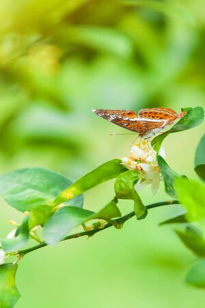 Close-up of The Knight butterfly pollinating on lemon flowers in organic lemon plantation.