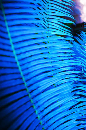 Close-up of blue fern leaves in a tropical garden, abstract blue color made of fresh green fern leaves for creative backdrop. Selective focus.