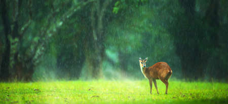 A little fawn relaxing on the green grassland in the rain shower. Khao Yai National Park, Thailand
