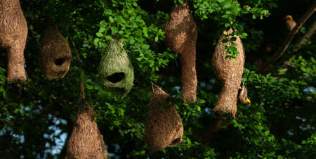 A colony of Baya Weaver and Streaked Weaver on the branches of wild trees, a Baya Weaver is building elegant nests, rain season.