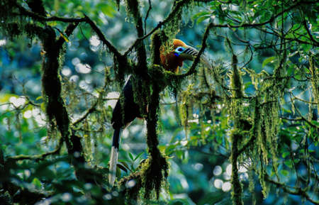 Male Rufous-necked Hornbill is perching on the branch of ancient tree, lush dense green moss and lichen covered ancient wild trees, Cloud Forest in Mae Wong National Park, Thailand. Noise, Grain. Focus on eye. Stock Photo