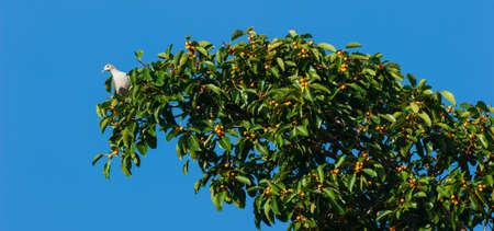 A Mountain imperial pigeon or Ducula badia feeding on ripe fruits of fig tree in seasonal.