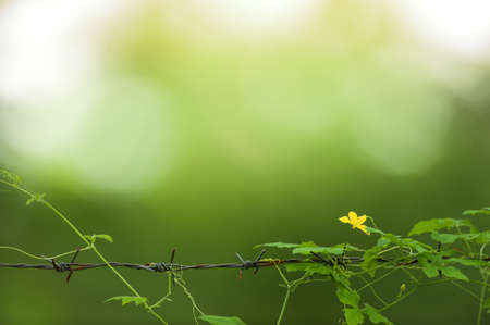 Blooming yellow ivy gourd flower on the barbed wire fence, green garden blurred in the background. Focus on yellow flower. Фото со стока