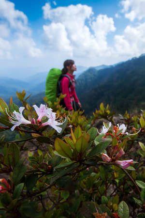 Hiking on Himalayas mountain peak with pink rhododendron flowers are in bloom, hiker young woman with backpack blurred in the background. Focus on rhododendron flowers. Фото со стока