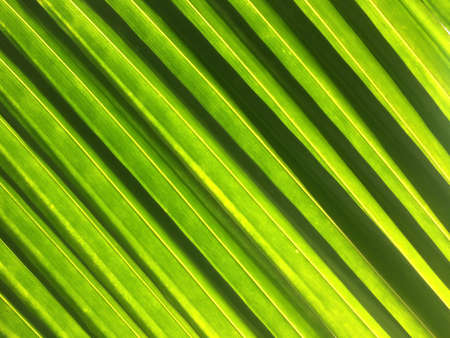 Striped green palm leaves in sunlight, bright shade of green against sunshine. Full frame. Close-up.