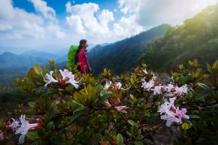 Hiking on Himalayas mountain peak with pink rhododendron flowers are in bloom, hiker young woman with backpack blurred in the background. Focus on rhododendron flowers.