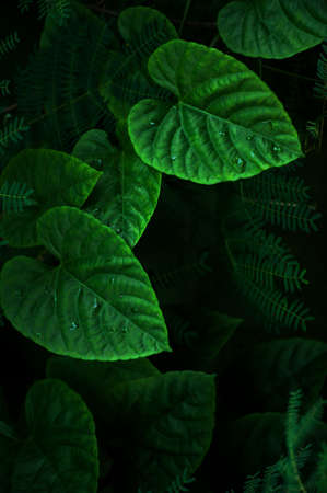 Close-up green vine leaves after the rain, abstract green heart shape of vine leaves. Selective focus. Фото со стока
