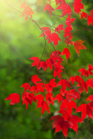Colourful red maple leaves in season specific, green natural blurred in the background. Close-up. Focus on maple leaves.