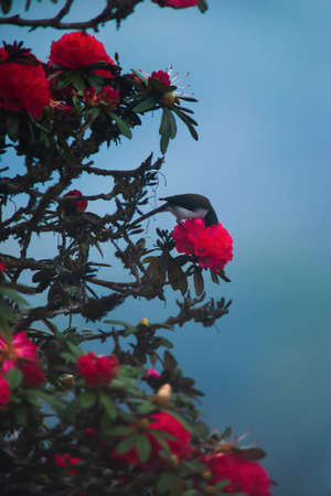 Black-headed Sibia pollinating red rhododendron flower is in bloom. Himalayas forest. Focus on rhododendron flower. Фото со стока