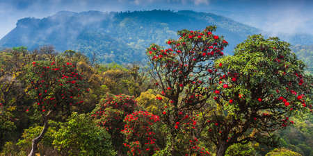 Scenery of ancient rhododendron forest in full bloom on the mountain peak, blooming red rhododendron flowers in season. Himalayas mountains.