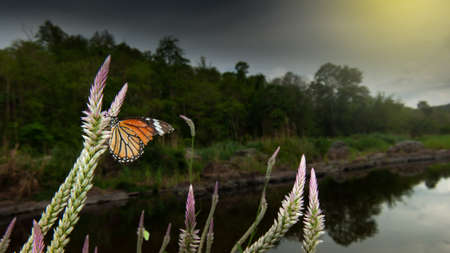 A monarch butterfly pollinating cockscomb flowers on the riverbank, rain storm covers tropical forest in the backgrounds. Mae Wong National Park, Thailand. Environment, Climate Change concepts.