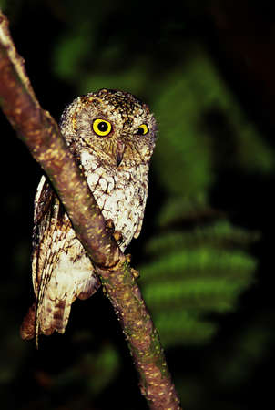An Oriental scops owl is perching on the tree branch at night. Evergreen forest near Thailand and Cambodia border. Focus on eyes.