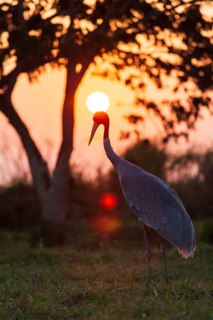 Sarus Crane relaxing on the grassland at sunset, glowing sun setting behind Sarus Cranes head. Silhouette.  Focus on the head.