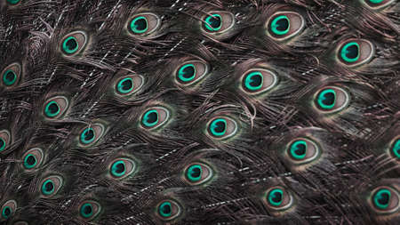 Close-up male Indian Peacock in full display, glowing eyespot on a male Indian Peafowl's train feather displaying in nature. Focus on eyespot.