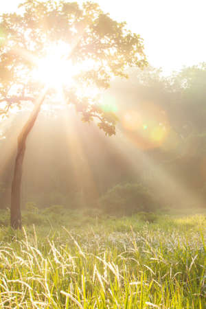 Bright sunrise shines on grass flowers fields and green forest blurred in the background, magical light beam with lens flare. Focus on grass flowers. Imagens