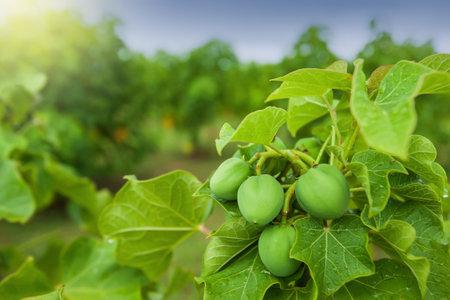 Physic nut, Purging nut or Barbadose nut (Jatropha curcas L.) plantation, vegetable oil refining, vegetable oil fuel. Alternative fuel concept. Focus on Physic nut. Imagens