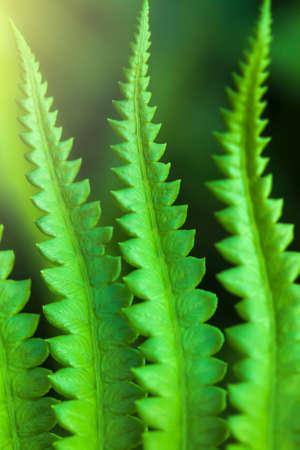 Close-up young green fern leaves at sunrise, art shape of green fern leaves in springtime. Top view. Focus on green leaves.