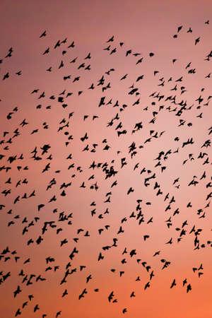 Magical flocks of Large Cuckoo-shrike birds flying in the sunset sky. Migratory wild birds. Bird migration. Laos and Thailand border. Motion blur. Imagens