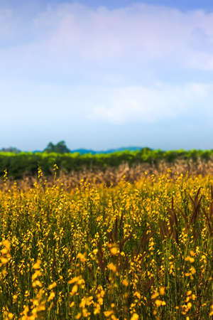 Landscape of sunn hemp flowers fields in full bloom, bright yellow flowers fields and grass flowers are in bloom, blue sky and white cloud in the backgrounds. Focus on yellow flowers. Imagens