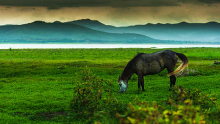 Happy a black horse with white blaze grazing on a green grassland  in the rain, rainstorm covers a lake and mountains in the backgrounds. Focus on horse head.