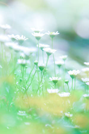 Blooming chamomile or daisy flowers at sunrise, bright and beautiful flowers garden in springtime. Close-up. Soft focus on white petals.