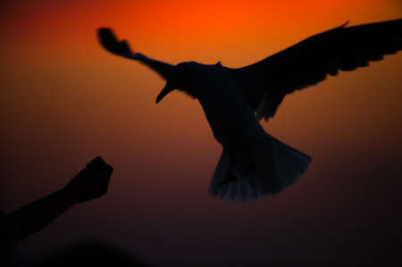 Motion blur. Tourist feeding on seagull at sunset. close-up tourists hand feeding on seagull at sunset during shorebirds migration.