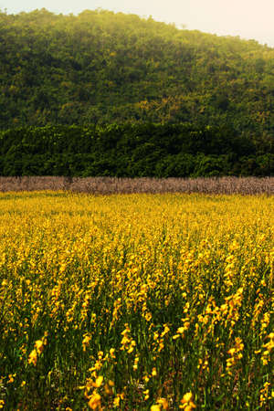 Landscape of sunn hemp flowers fields in full bloom, bright yellow flowers fields and grass flowers are in bloom, mountain and green forest in the backgrounds. Focus on yellow flowers.