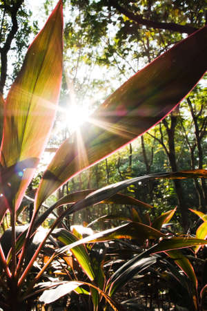 Colorful cordyline fruticosa foliage growing by shady trees in an evergreen forest, transparent cordyline leaves against sunrise. Focus on cordyline leaves. Imagens